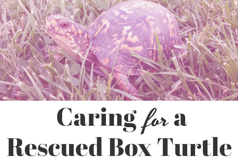Caring for a rescued box turtle